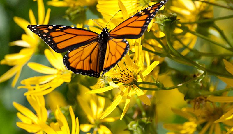 pollinators butterflies butterfly