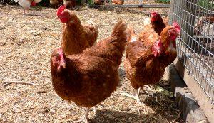 isa brown browns chicken breed