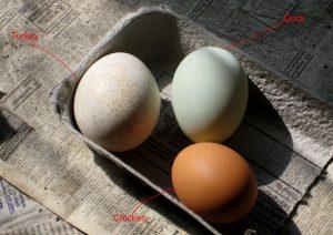 duck chicken turkey egg eggs