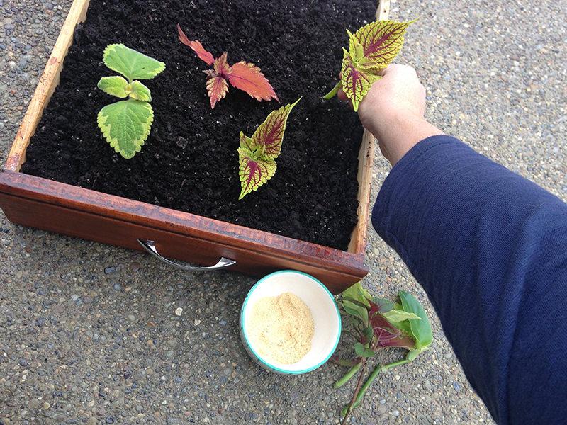 plant cuttings in propagation box