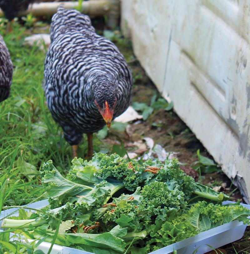 no-chicken salad