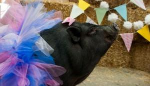 pig maternity photo shoot