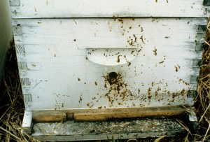 hive affected by nosema