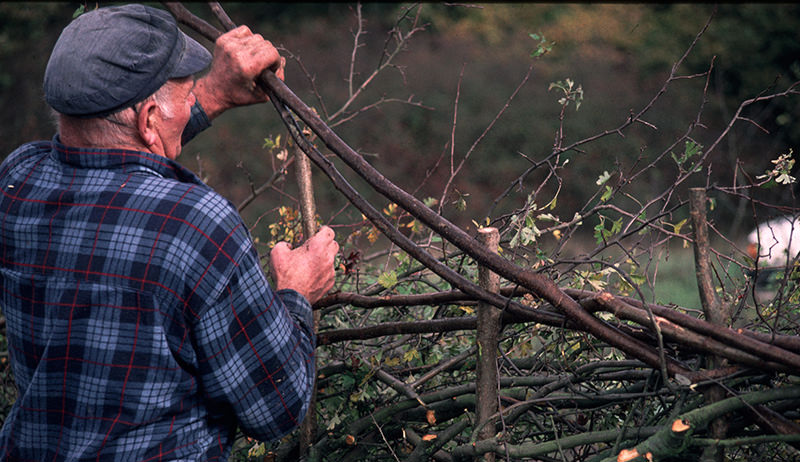 laying a hedge