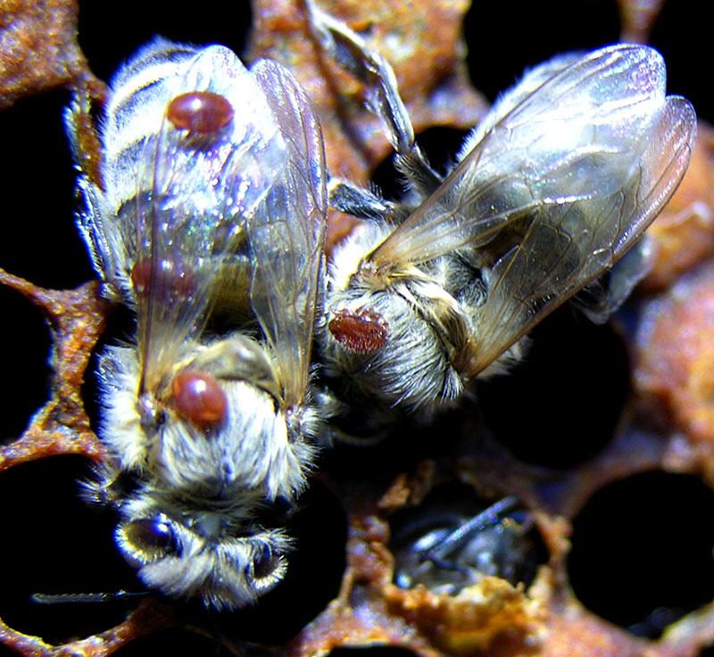 varroa mites bees parasites