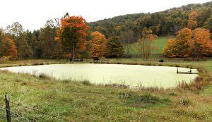 algae on farm pond