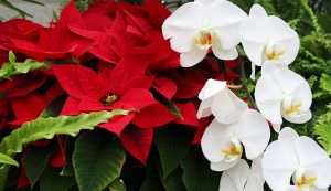 orchids and poinsettias