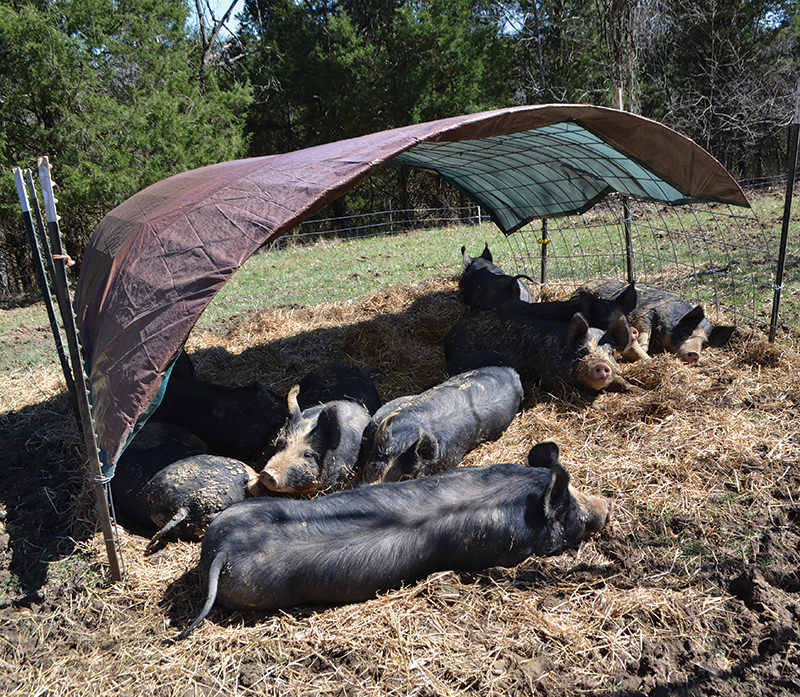 farm hack hacks pigs sun shelter