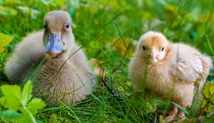 chick and duckling