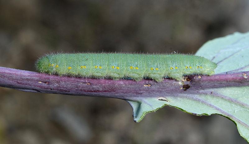 cabbageworm kale pests