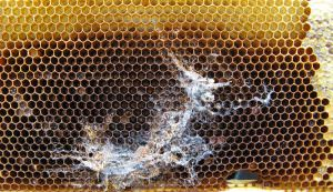 wax moth bees