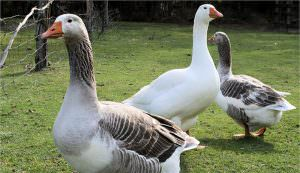 geese treats