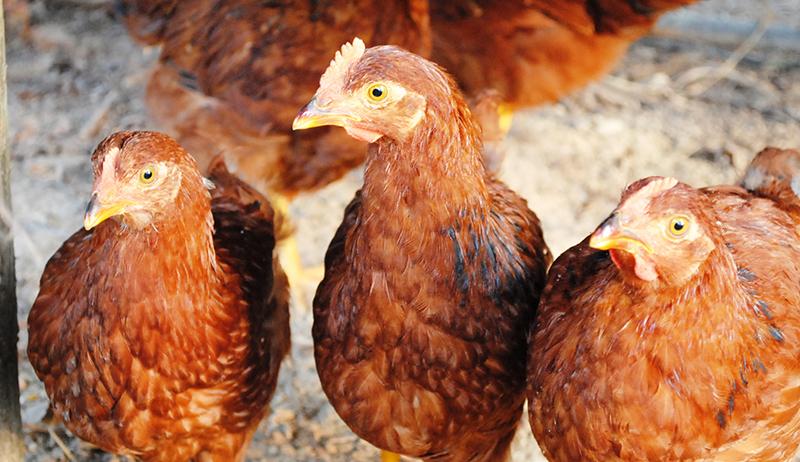 chickens coop bedding ventilation