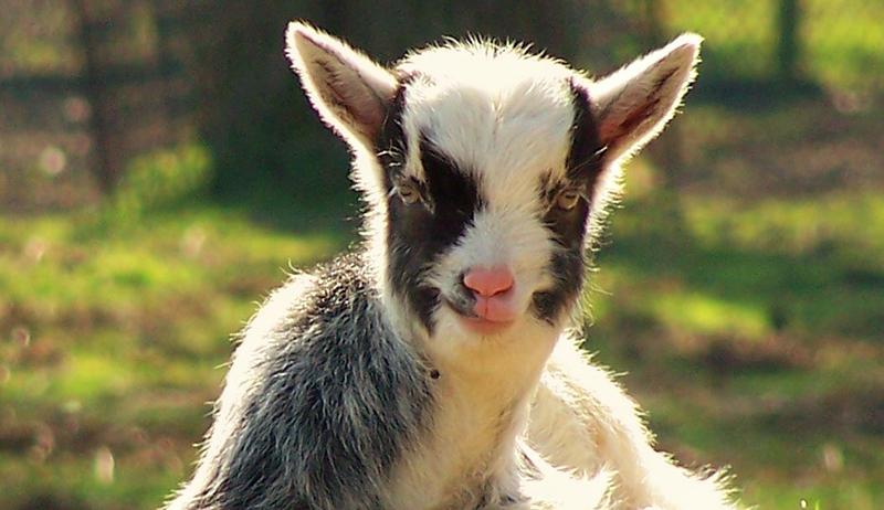 baby goat colostrum