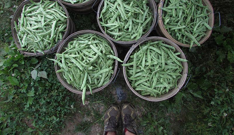 bushels of beans