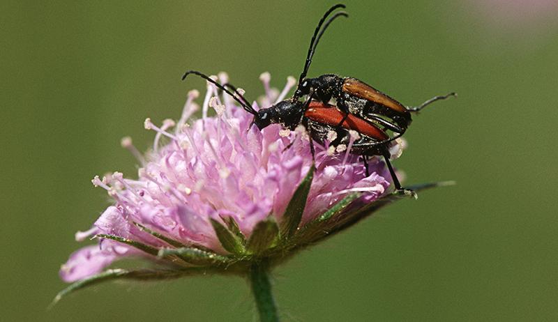 beetles pollinating flower