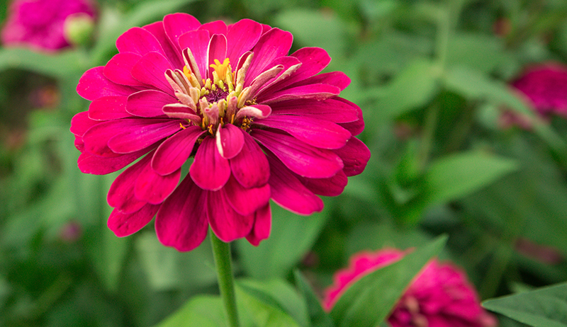 zinnia cut flowers