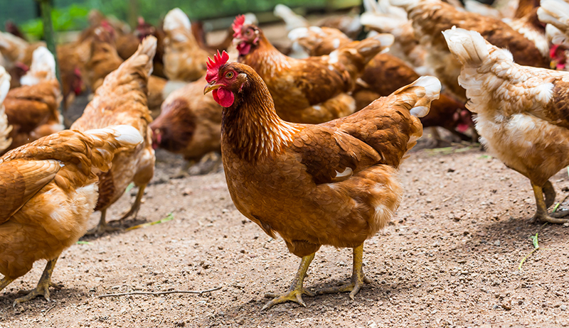 parasites in chickens
