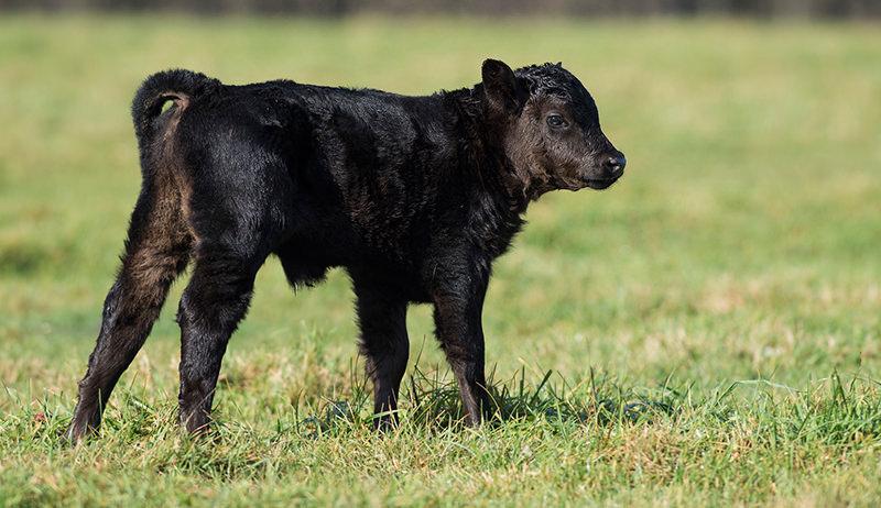Black Angus calf