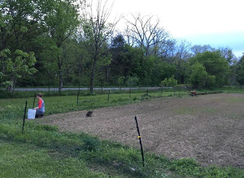 weeding the asparagus row