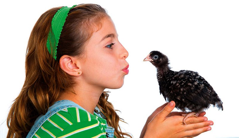 chickens chicks health safety avian flu salmonella