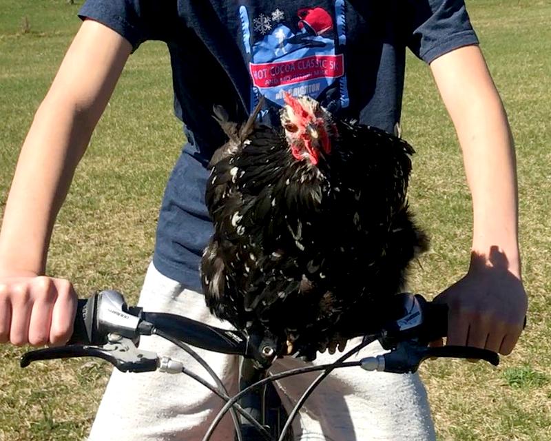 train chicken bicycle handlebars