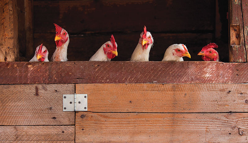 stress in chickens terminology terms