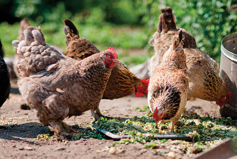 stress chickens diet feed