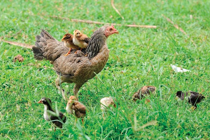stress in chickens watching chicks