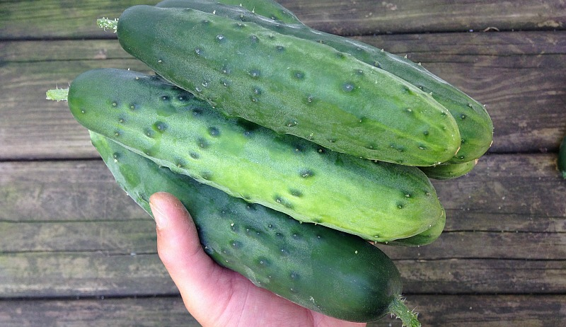 plant more cucumbers