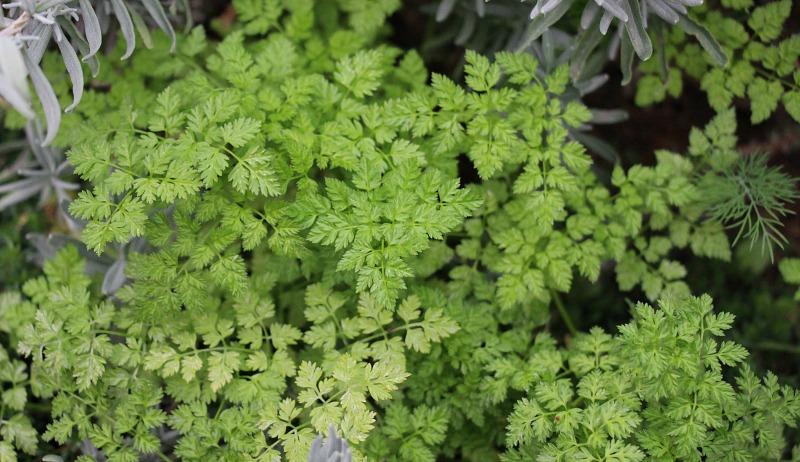 fast-growing herbs
