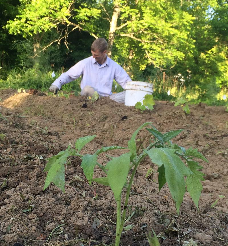 Mr. B transplanting tomatoes