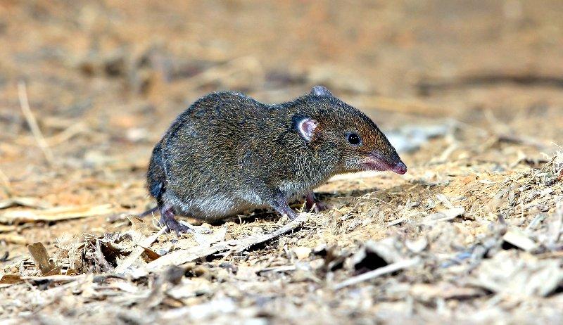 shrews shrew garden health