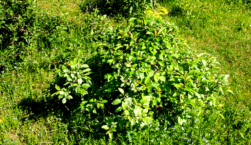 invasive plants wild apple trees