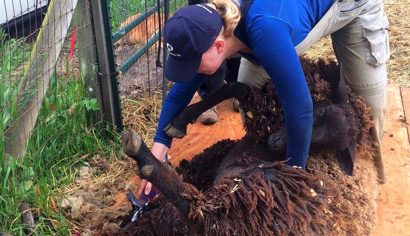 overfeeding sheep