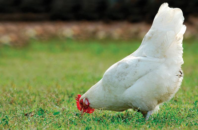 chicken digestive health