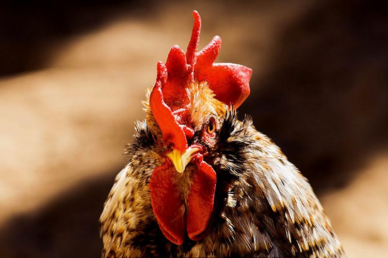 aggressive chickens
