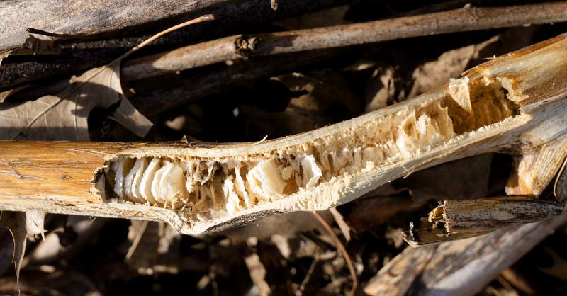 bee habitat stem wood