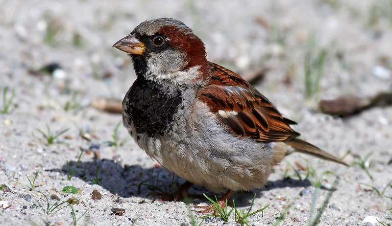 house sparrows chickens
