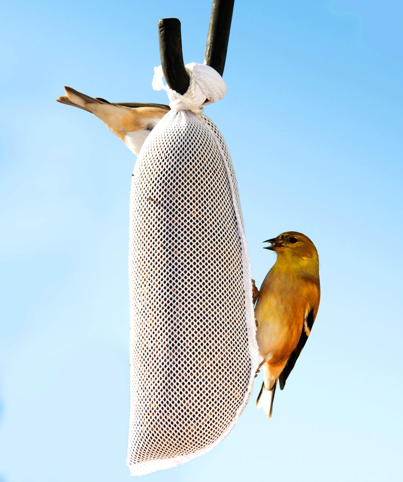 house sparrows goldfinch sock feeder