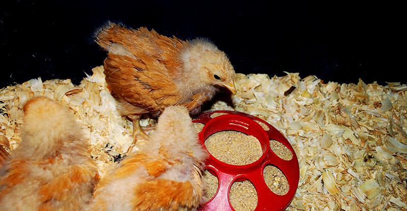 raising chickens chicks hatchlings