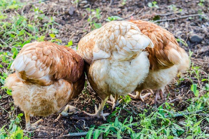 chicken anatomy fluff