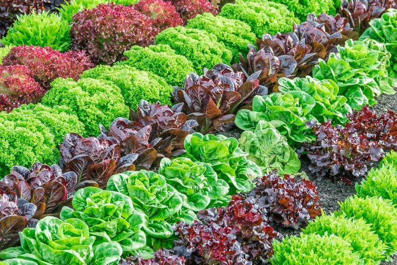 summer lettuce