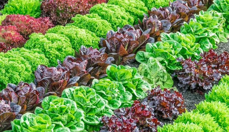 summer lettuce year-round crops