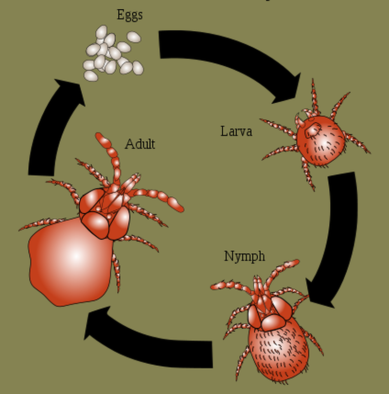 chiggers life cycle