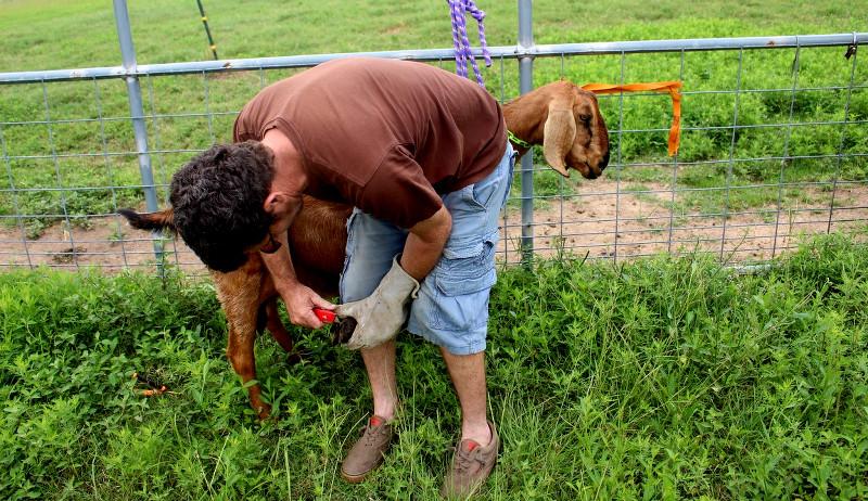 trimming goat hooves