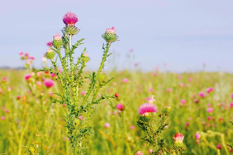 weeds thistles