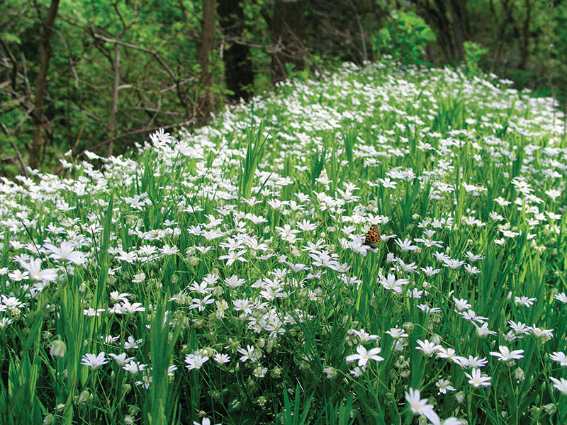 weeds chickweed