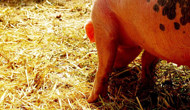 hay pigs hogs