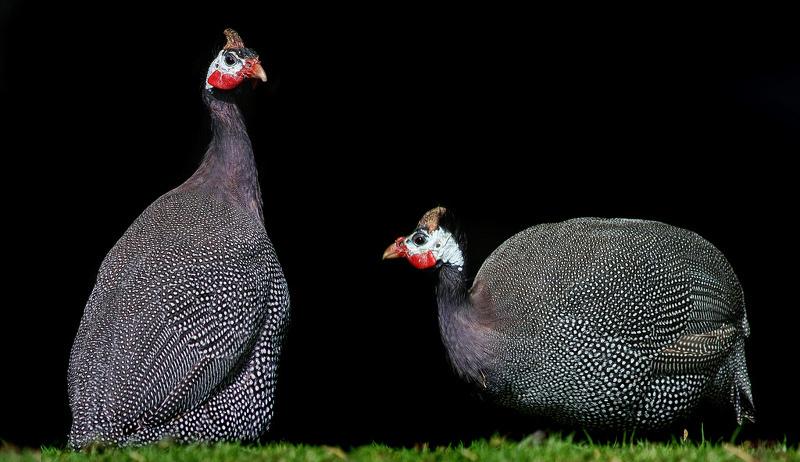 adding livestock farm poultry guinea fowl